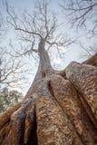 Fermez-vous vers le haut de la racine vieille d'un siècle d'arbre dans le temple de Prohm de ventres, Angkor Thom, Siem Reap, Cam Image libre de droits