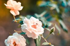 Fermez-vous vers le haut de la rose beaux trois blanche sur la branche verte Rose et bourgeon sur le jardin Fond de Valentines Le photos stock