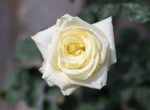 Fermez-vous vers le haut de la rose de blanc fleurissant dans le Saint Valentin de jardin Image libre de droits