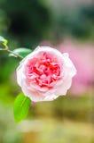 Fermez-vous vers le haut de la rose de rose avec le fond brouillé Photo stock
