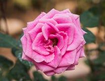 Fermez-vous vers le haut de la rose de rose fleurissant dans le Saint Valentin de jardin Photographie stock libre de droits