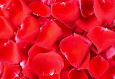 Fermez-vous vers le haut de la rose 10 de rouge Images libres de droits