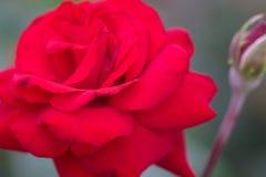 Fermez-vous vers le haut de la rose de rouge dans le jardin d'agrément, ressort Photographie stock libre de droits