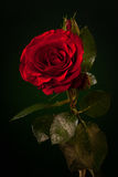 Fermez-vous vers le haut de la rose de rouge sur vert-foncé Photos libres de droits