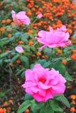 Fermez-vous vers le haut de la rose de rose fleurissant dans l'arrière-cour de jardin Photos stock