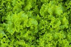 Fermez-vous vers le haut de la salade de laitue Photographie stock
