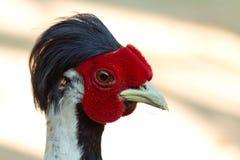 Fermez-vous vers le haut de la tête argentée de faisan Photo libre de droits