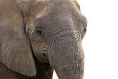 Fermez-vous vers le haut de la tête d'éléphant   Images libres de droits