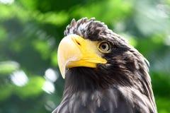 Fermez-vous vers le haut de la tête de l'aigle Photographie stock