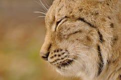 Fermez-vous vers le haut de la tête de Lynx Image stock