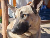 Fermez-vous vers le haut de la tête du chien faisant face à gauche Photos stock