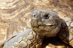 Fermez-vous vers le haut de la tête et des yeux d'une tortue Image libre de droits
