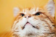 Fermez-vous vers le haut de la tête, museau du rouge orange paisible tigré Photo stock
