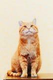Fermez-vous vers le haut de la tête, museau du rouge orange paisible tigré Images libres de droits