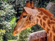 Fermez-vous vers le haut de la tête, regardant la girafe Images stock