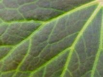 Fermez-vous vers le haut de la texture noire verte d'usine de feuille de caladium de feuille en nature pour le fond photographie stock libre de droits