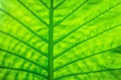Fermez-vous vers le haut de la texture verte de feuille Photos libres de droits