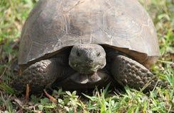 Fermez-vous vers le haut de la tortue Images stock