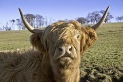 Fermez-vous vers le haut de la vache des montagnes Photographie stock libre de droits