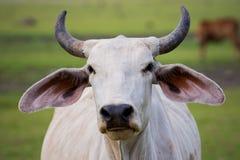 Fermez-vous vers le haut de la vache masculine à klaxon de visage dans le domaine rural d'exploitation d'élevage Photos libres de droits