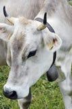 Fermez-vous vers le haut de la vache suisse Photographie stock