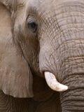 Fermez-vous vers le haut de la verticale d'un éléphant Photo libre de droits