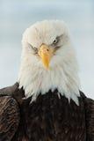 Fermez-vous vers le haut de la verticale d'un aigle chauve Photographie stock libre de droits