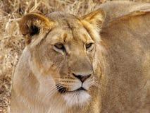 Fermez-vous vers le haut de la verticale d'une lionne Image stock