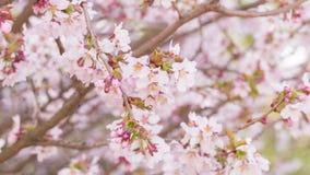 Fermez-vous vers le haut de la vidéo des fleurs de cerisier de Sakura banque de vidéos