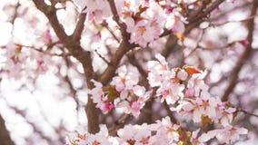 Fermez-vous vers le haut de la vidéo des fleurs de cerisier de Sakura clips vidéos
