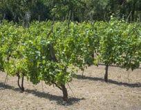 Fermez-vous vers le haut de la vigne sur le vignoble dans Benatky NAD Jizerou, représentant tchèque photographie stock libre de droits
