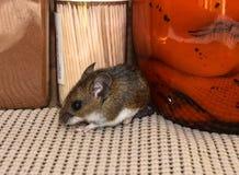 Fermez-vous vers le haut de la vue de côté d'une souris de maison grise sauvage dans un buffet avec la nourriture derrière lui photo libre de droits