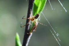 Fermez-vous vers le haut de la vue colorée de l'araignée sur la feuille photos stock