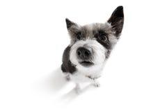 Fermez-vous vers le haut de la vue curieuse de chien Photo stock