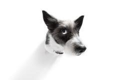 Fermez-vous vers le haut de la vue curieuse de chien Images stock