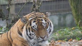Fermez-vous vers le haut de la vue d'un tigre sibérien banque de vidéos
