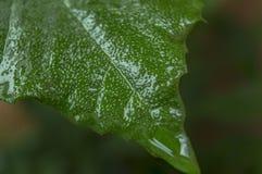 Fermez-vous vers le haut de la vue d'une feuille verte humide photographie stock libre de droits