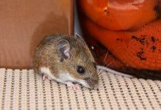 Fermez-vous vers le haut de la vue d'une souris de maison grise sauvage dans un buffet avec la nourriture derrière lui photo libre de droits