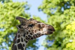 Fermez-vous vers le haut de la vue d'une tête du ` s de girafe Images stock