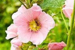 Fermez-vous vers le haut de la vue de l'abeille de travail sur une fleur rose de rose trémière Photo stock