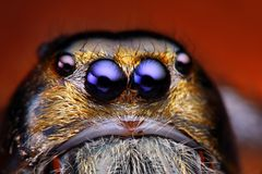 Fermez-vous vers le haut de la vue de l'araignée sautante de Hyllus Diardy   Image stock