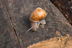 Fermez-vous vers le haut de la vue de l'hélice d'escargot de Bourgogne, escargot romain, snai comestible Photographie stock libre de droits