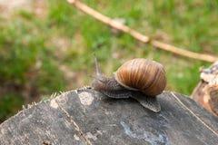 Fermez-vous vers le haut de la vue de l'hélice d'escargot de Bourgogne, escargot romain, snai comestible Image stock