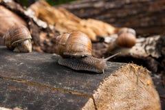Fermez-vous vers le haut de la vue de l'hélice d'escargot de Bourgogne, escargot romain, snai comestible Photo stock