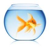 Fermez-vous vers le haut de la vue de la cuvette de poissons d'isolement Images stock