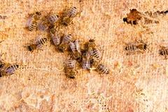 Fermez-vous vers le haut de la vue des abeilles de travail Photo stock