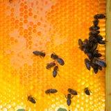 Fermez-vous vers le haut de la vue des abeilles fonctionnantes sur des honeycells Images libres de droits