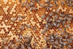 Fermez-vous vers le haut de la vue des abeilles fonctionnantes sur des honeycells Image libre de droits