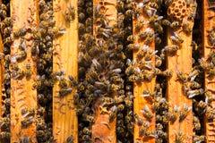 Fermez-vous vers le haut de la vue des abeilles grouillant sur un nid d'abeilles Photo libre de droits
