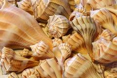 Fermez-vous vers le haut de la vue des coquilles de buccin de foudre se reposant sur le sable Photos stock